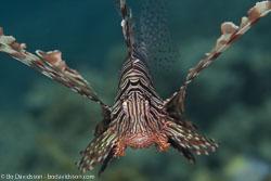 BD-121129-Aqaba-7757-Pterois-miles-(Bennett.-1828)-[Devil-firefish.-Drakfisk].jpg